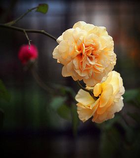 pretty, rose and yellow roses