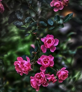 colors, rose and gardening