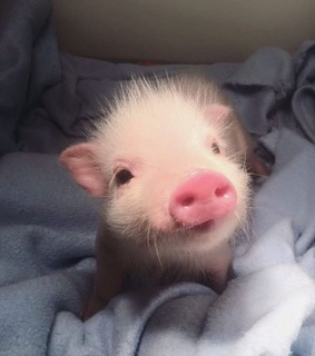 piggy, year of the pig and 2019