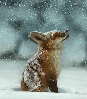 little fox, cold and cutes