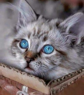 blue eyes, kitten and cat eyes
