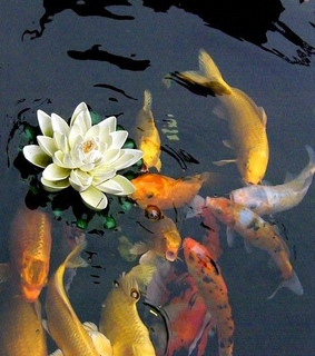 lake, fish and lotus