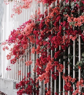natures, red and bougainvillea