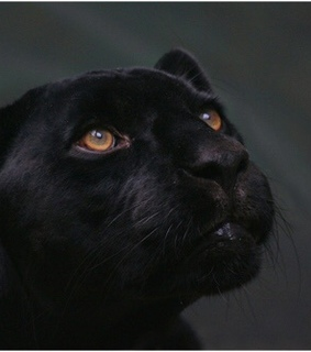 panther, amber and animals