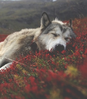 colors, relax and wolf