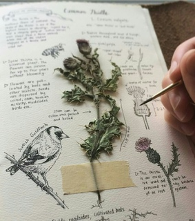 botany, thistle and herb