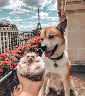 hedgehog, funny and dogs
