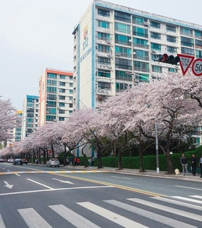 busan, sakura and cherry trees
