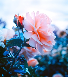 flowers, flora and pink and blue