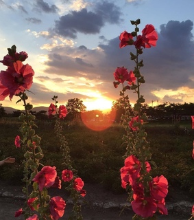 nature, red flowers and sunset