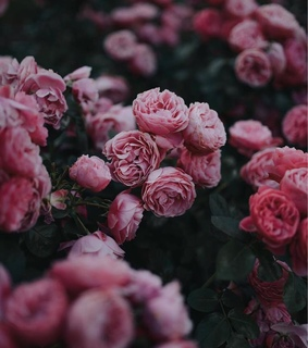roses, garden and rose