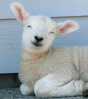 animals, sheep and spring