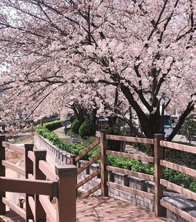 pink, nature and cherryblossom