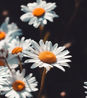 margaritas, daisy and spring