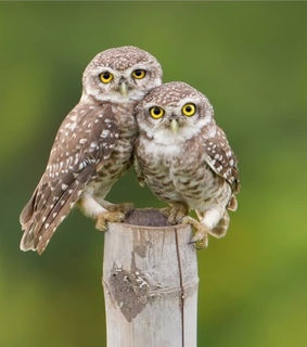 owl, photography and owls