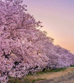 sky, pastel and cherry trees