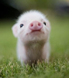 baby, piggy and adorable