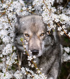 wolves, flowers and wolf