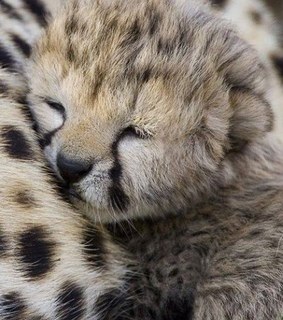 naturaleza, animales and leopardo