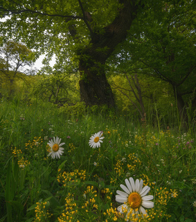 flower, flower field and daisy field