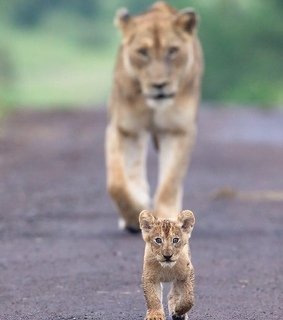 ss, photography and lions