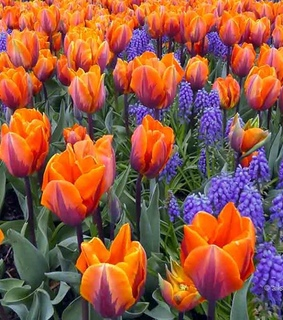 colors, gardening and tulip garden