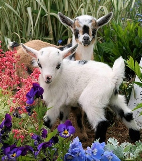 cute, animal and goat