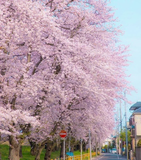 cherryblossom, nature and beauty