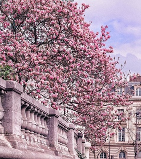 magnolia, pink and cute