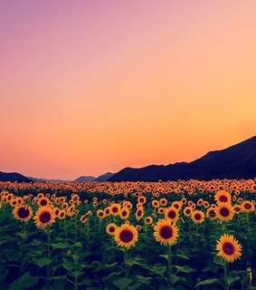 travel, sunflower and sunset