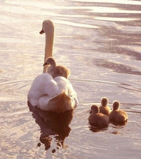 discover, Swan and wildlife