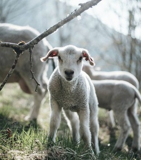 country living, sheep and lambs