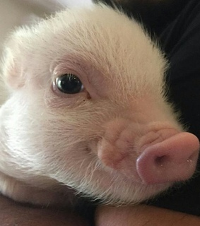 oink, fluffy and cute