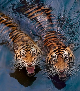 animals, photos and tiger