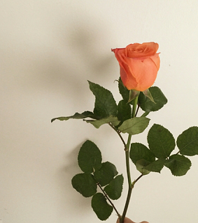 apricot, beauty and rose