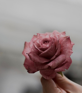 flower, photography and rose