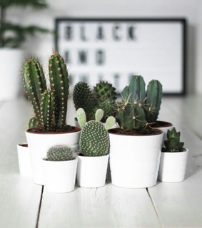 aesthetic, cacti and cactus