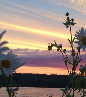 chamomile, flowers and header