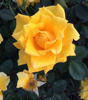 rose, nature and yellow