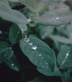 dew, drops and green