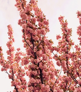 april, flowers and pink