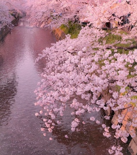 aesthetic, blossom and cherry