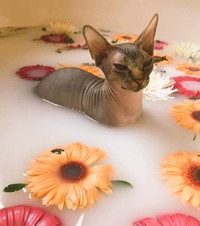 Sphynx cat, aesthetic and animals