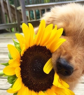 yellow, photography and sunflower