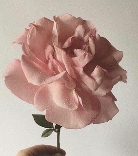 rose, nature and plant