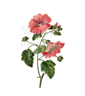 flower png, hibiscus and vintage flower