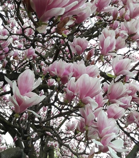 pink, ? and magnolia