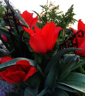 tulip, scarlet and greens