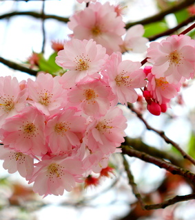 beautiful, cherryblossom and love