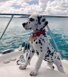 boat, cute and dalmation